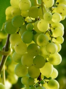 white grapes on vine - prosecco
