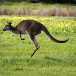 Kangaroo S_S