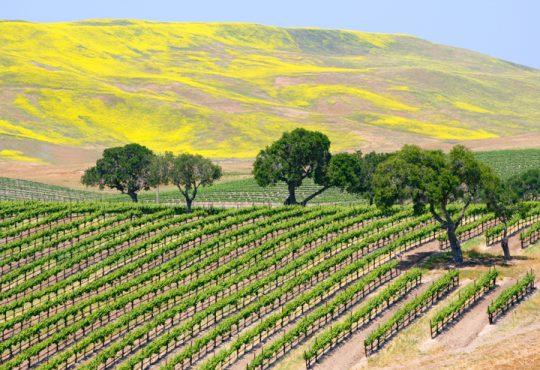Napa vines_hills_treesS
